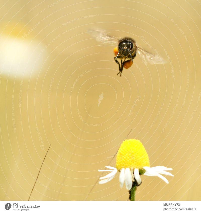 Achtung, ich komme........ bitte stillhalten! Biene Blume Honigbiene Kamille Kamillenblüten Blüte Tragfläche Flügel Staubfäden Pollen Makroaufnahme Tier Insekt