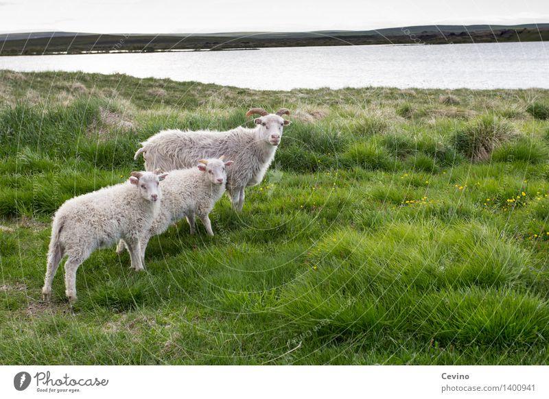 Schafe Natur Landschaft Gras Wiese Tier Nutztier Fell 3 Tiergruppe Herde Tierfamilie Blick stehen Coolness Schafherde Schafwolle Wolle Familienglück Neugier