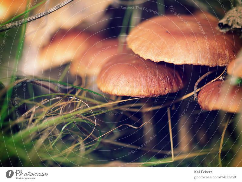 Pilze im Unterholz Natur Pflanze grün Erholung ruhig Wald Umwelt Herbst natürlich Glück braun Zufriedenheit Idylle ästhetisch Warmherzigkeit Neugier