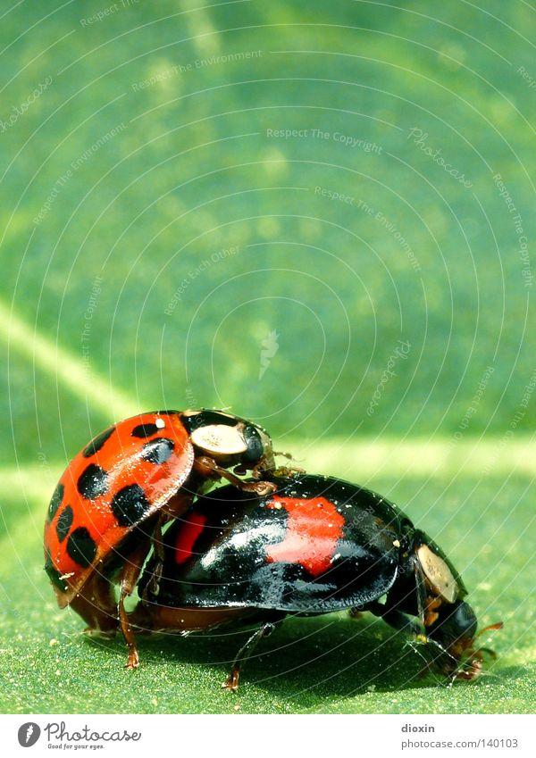 Käfer machen grün rot schwarz Frühling Insekt Käfer Marienkäfer Zärtlichkeiten Trieb Nachkommen Frühlingsgefühle Fortpflanzung Familienplanung
