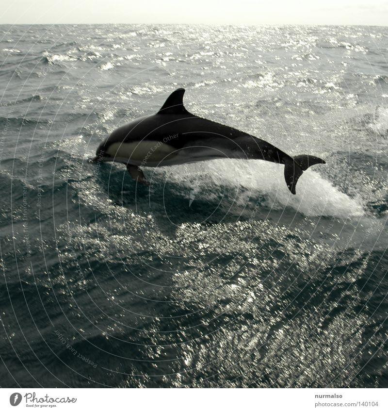 Guter Freund Delphine Segeln Segelboot Meer Horizont Atlantik Portugal springen Spielen Ereignisse Steuerbord Backbord Schiffsbug Heck Meerestiefe Meerwasser