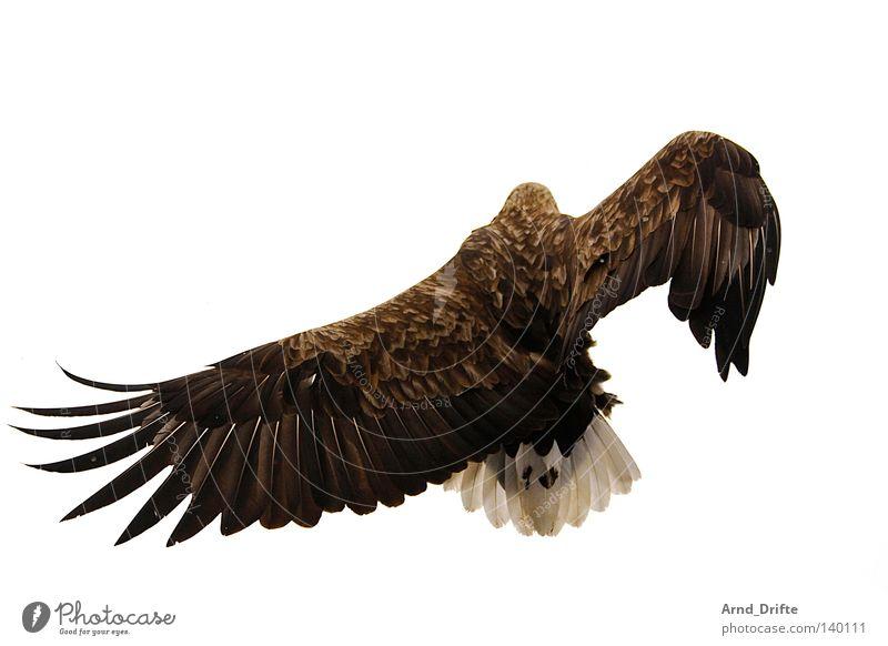 Breakdance Norwegen Feder Fjord fliegen Greifvogel groß hell Himmel kalt Kraft majestätisch Meer Polarmeer Seeadler Vogel weiß Luftverkehr