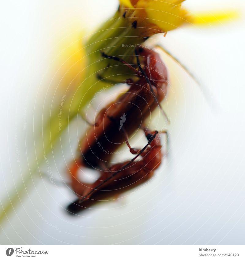 popshop Insekt Tier Fortpflanzung Käfer festhalten Blume Pflanze Stengel Blüte Plage Pflanzenschädlinge Schädlinge rot mehrfarbig Sommer Frühling Kopf