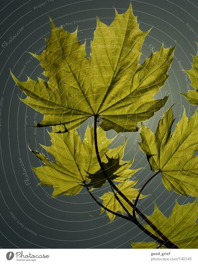 leaf in the sky Himmel Baum blau Sommer Blatt Herbst Frühling grau Gefäße Ahorn Ahornblatt
