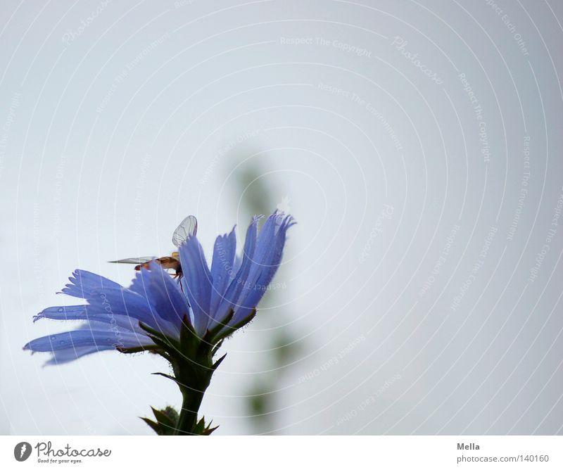 Bläulich Blume Blüte Schwebfliege blau Flügel Insekt Himmel trüb zart hell grau Schlupfwespe bläulich gräulich