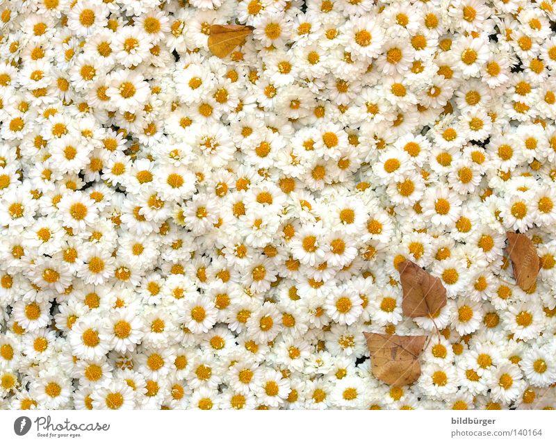blühblüh weiß Pflanze Blume Sommer Freude Blatt gelb Blüte frisch Fröhlichkeit Vergänglichkeit zart Unendlichkeit trocken Blühend Blumenstrauß
