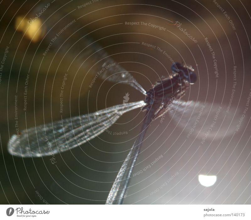 schleierhaft Tier Wasser Flügel dünn grün unklar Beleuchtung filigran fein Klein Libelle Facettenauge Auge Beine Azurjungfer Europa Kopf Insekt Wasseroberfläche