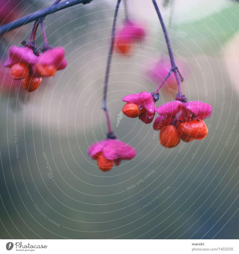 Böbbel Natur Pflanze Herbst Blume Sträucher Blüte Stimmung herbstlich orange Farbfoto Außenaufnahme Nahaufnahme Detailaufnahme Makroaufnahme Tag
