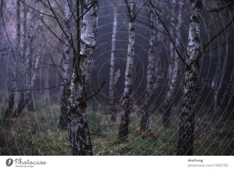 wald. Umwelt Natur Landschaft Pflanze Herbst Klima schlechtes Wetter Nebel Regen Baum Birkenwald Wald bedrohlich dunkel gruselig kalt nass natürlich blau grün