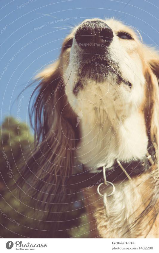 hochnäsig Tier Haustier Hund Saluki Windhund 1 beobachten entdecken genießen elegant blau braun mehrfarbig Tierliebe ruhig Selbstbeherrschung Anmut Schnauze