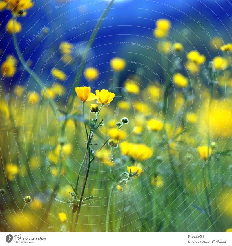 Blümchen Pflanze Blume Wiese blau gelb Stengel Blüte Erde Insekt Blütenknospen Blattknospe Blühend Sommer Himmel Gras