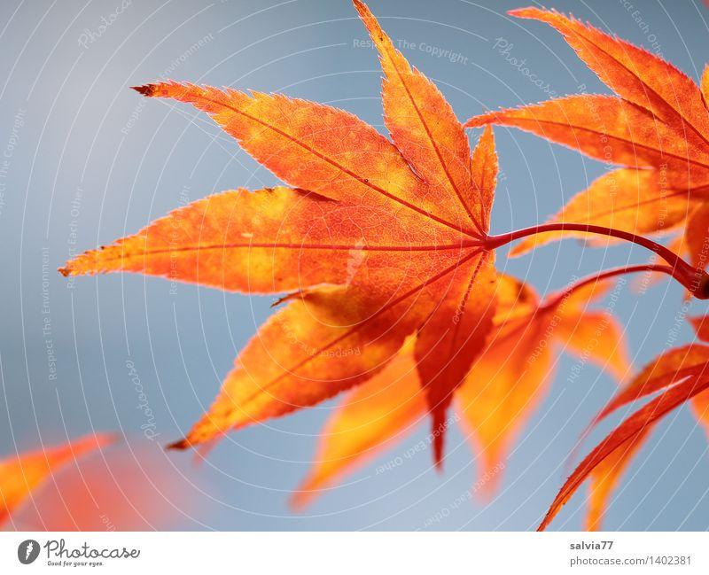 Blätterleuchten Umwelt Natur Tier Himmel Wolkenloser Himmel Herbst Schönes Wetter Pflanze Blatt Blattadern Herbstfärbung Ahornblatt Park ästhetisch exotisch