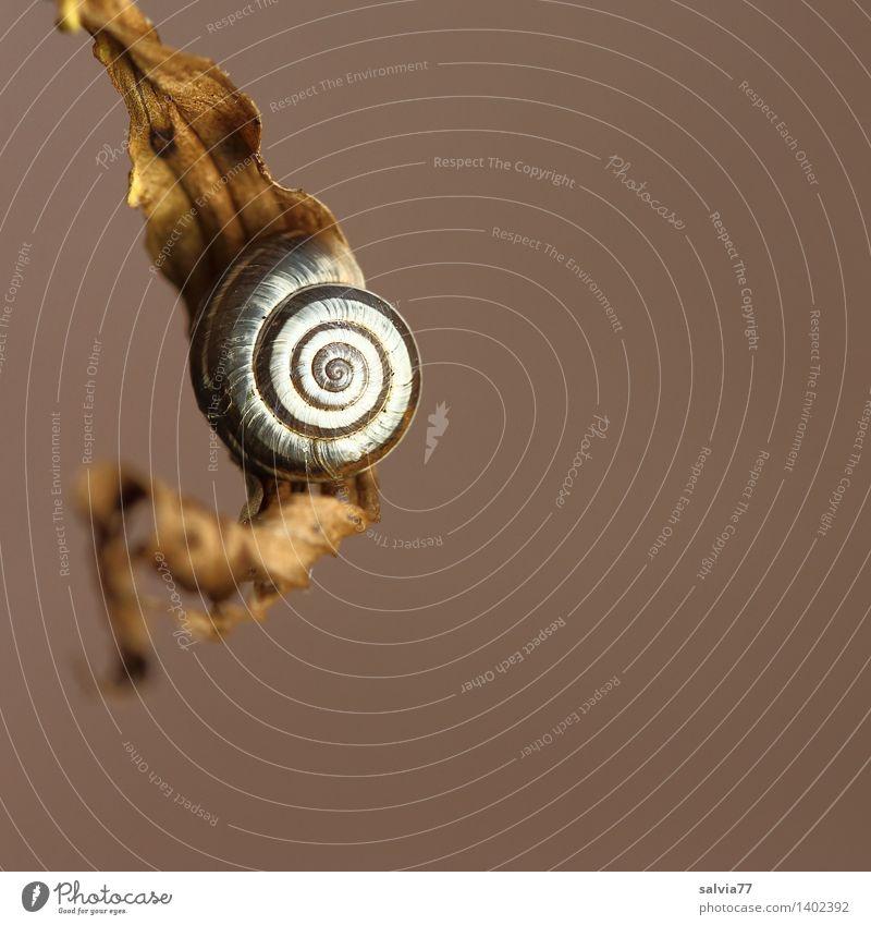 Ruheplatz Umwelt Natur Tier Herbst Blatt Schnecke Schneckenhaus Spirale 1 klein rund braun grau weiß ästhetisch Zufriedenheit Einsamkeit einzigartig Glück ruhig