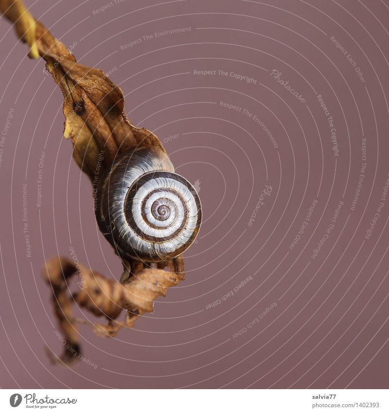 Schneckenpause Natur Tier Herbst Dürre Blatt Wildtier Schneckenhaus 1 Erholung hängen dehydrieren klein rund braun weiß Sicherheit Schutz ruhig Einsamkeit
