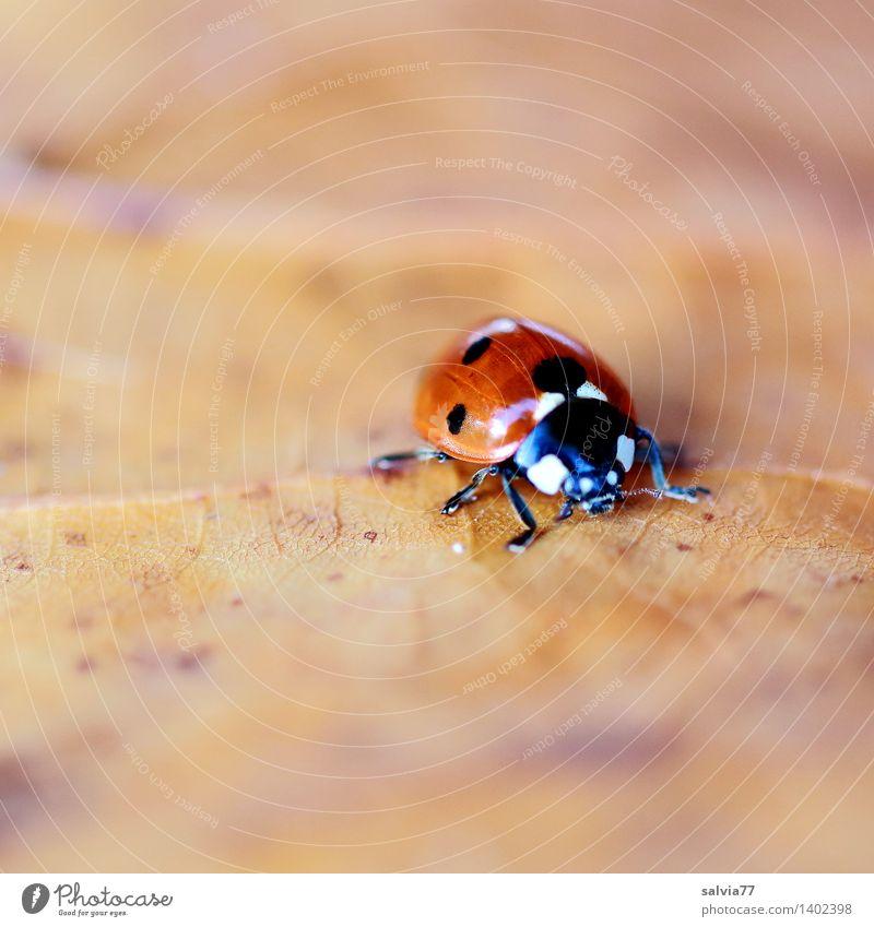 Suche nach Winterquartier Natur Tier Erde Herbst Blatt Blattadern Käfer Tiergesicht Marienkäfer Siebenpunkt-Marienkäfer Insekt 1 krabbeln klein nah niedlich