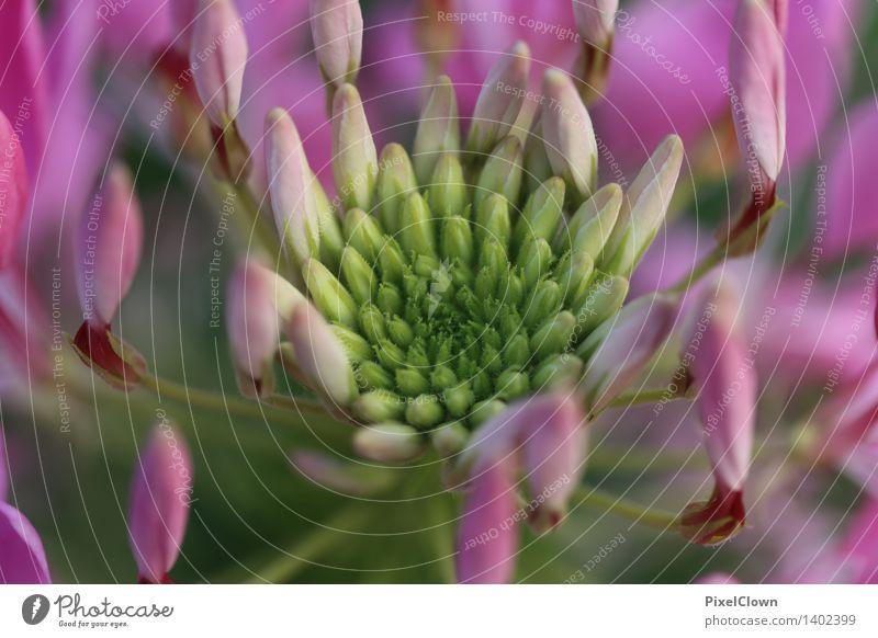 Blüte Natur Pflanze schön Blume Gefühle Garten Park Wachstum ästhetisch Blühend Wellness violett Duft harmonisch Meditation Kosmetik
