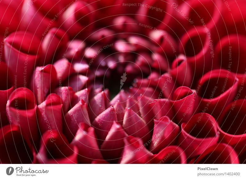 Blume Natur Pflanze schön Blume Erholung rot Blüte Liebe Gefühle Garten Lifestyle Park träumen Zufriedenheit ästhetisch Blühend
