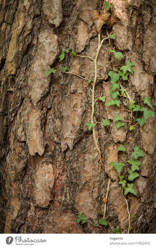 Waldefeu Natur Pflanze Baum Efeu Kiefer Baumrinde Baumstamm Kletterpflanzen Wachstum natürlich trocken braun grün Glaube Trauer Zufriedenheit Hoffnung Idylle
