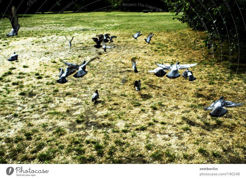 Tauben Menschengruppe Herde Vogelschwarm fliegen Abheben Beginn Flucht Park Gras Wiese Garten Sommer