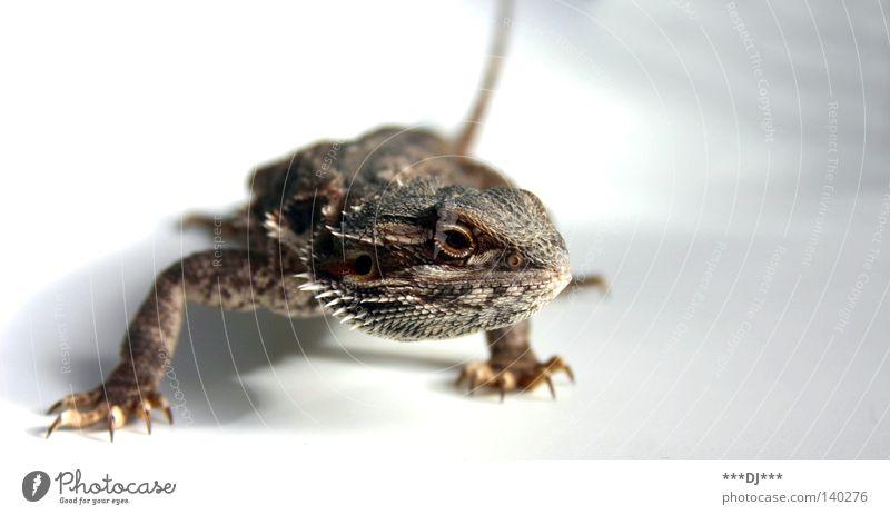 Lauerstellung ... schön Tier Geschwindigkeit lang Haustier Scheune Schwanz Reptil bequem Krallen Angriff Echsen Agamen Fleischfresser Pflanzenfresser Bart-Agame
