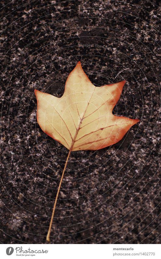tulpenbaumblatt Umwelt Natur Pflanze Herbst Tulpe Blatt Grünpflanze Wildpflanze alt dünn authentisch einfach einzigartig kalt natürlich Spitze trist trocken
