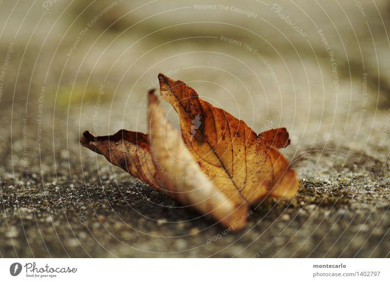 abliegen Umwelt Natur Pflanze Urelemente Erde Herbst Blatt Grünpflanze Wildpflanze alt dünn authentisch einzigartig kalt kaputt nah natürlich Spitze trist