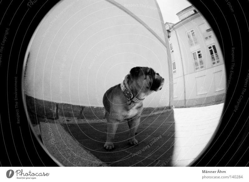 Dog with Style. Hund Fischauge Haus Wand Tier Stadt Bulldogge Englisch Fenster Bürgersteig Dogge stehen Säugetier schwarz weiß Lomografie Schwarzweißfoto Tür
