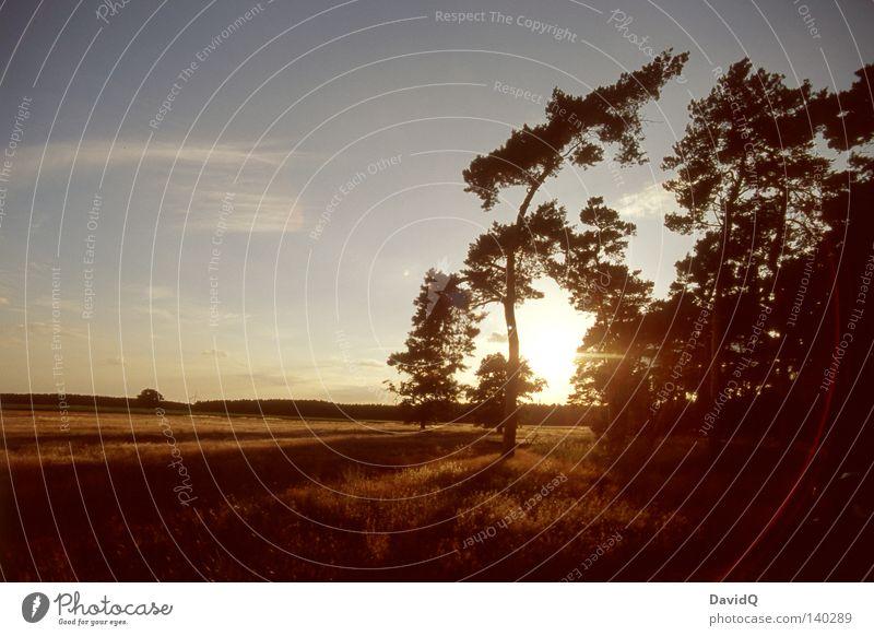 sunshine reggae Wald Baum Umgebung Erde Gegend Wachstum Reifezeit Feld Wiese Ackerboden Flur Sommer Sonnenuntergang Licht Kiefer Solitärkiefer Landschaft Natur