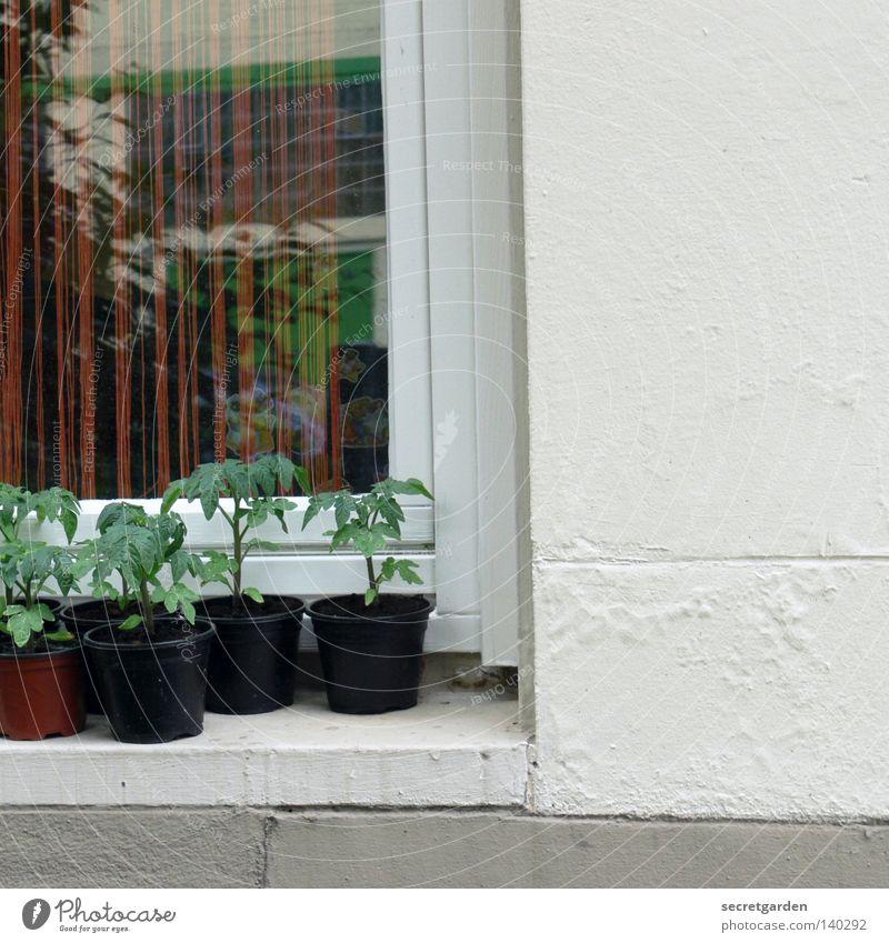 hanfplantage? Hanf grün Fenster Geländer Hälfte Wachstum züchten Fensterbrett Topf Dekoration & Verzierung Vorhang Reflexion & Spiegelung weiß schwarz 5