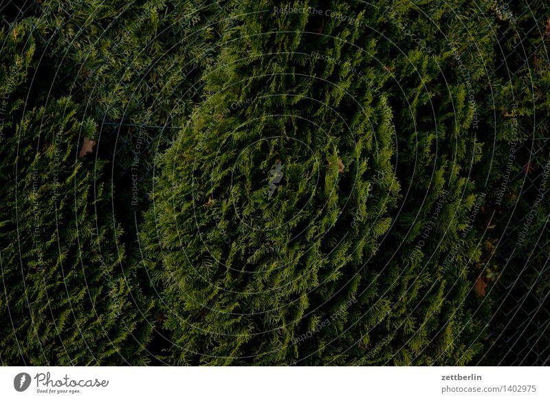 Thuja again Lebensbaum Zypresse Pinales Hecke Garten Schrebergarten Kleingartenkolonie Nachbar Sichtschutz Perspektive Blick grün dunkel Strukturen & Formen