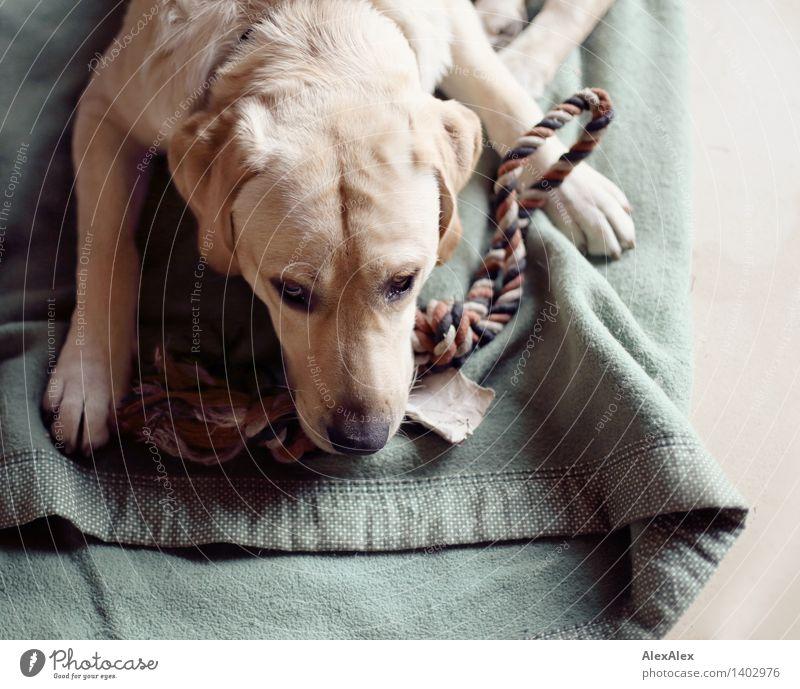 Labrador Mo Tier Haustier Hund 1 Decke Seil Spielzeug liegen warten ästhetisch authentisch blond schön einzigartig natürlich positiv rebellisch wild weich grün