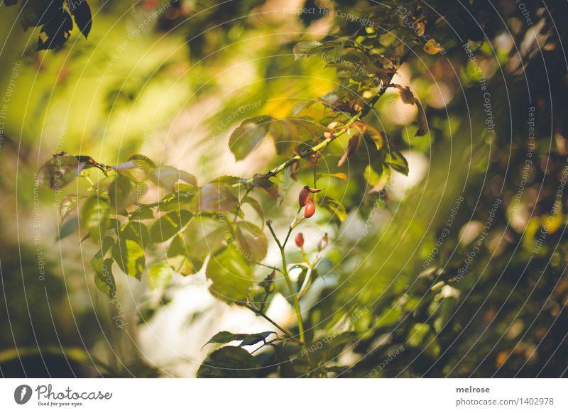 rote Tupfer II elegant Stil Natur Sonnenlicht Herbst Schönes Wetter Pflanze Sträucher Wildpflanze Hagebutten Beerensträucher Blätterdach Zweige u. Äste Feld