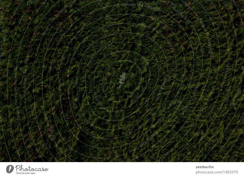 Thuja Lebensbaum Zypresse Pinales Hecke Garten Schrebergarten Kleingartenkolonie Nachbar Sichtschutz Perspektive Blick grün dunkel Strukturen & Formen