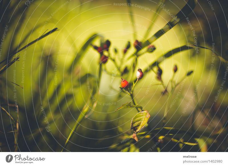 rote Tupfer elegant Stil Design Natur Sonnenlicht Herbst Schönes Wetter Pflanze Sträucher Blüte Wildpflanze Beerensträucher Beerenstand Hagebutten Frucht Blatt