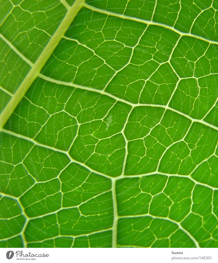 grüne Blattstruktur Blattgrün Blattadern Hintergrundbild netzartig Vernetzung Netzwerk Bildausschnitt Makroaufnahme Detailaufnahme