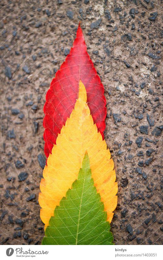 Ampelkoalition Herbst Blatt Herbstlaub Asphalt leuchten ästhetisch außergewöhnlich Freundlichkeit positiv gelb grau grün rot Design Farbe Natur