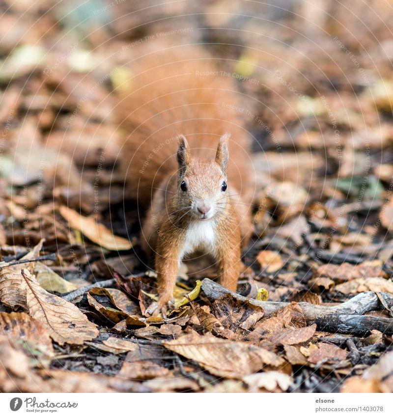 Mach´s dem lust´gen Eichhörnchen nach ... Natur Herbst Schönes Wetter Park Wald Tier Wildtier Fell 1 rennen füttern toben frech Freundlichkeit schön lustig