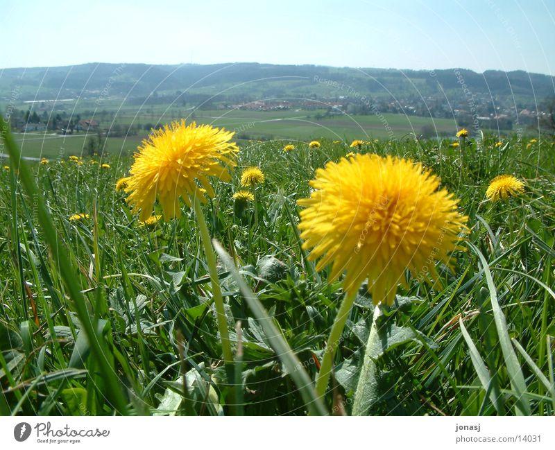 Weitsicht? Löwenzahn Blüte gelb Dorf Wiese grün Horizont Sommer Frühling Wilhelmsdorf Aussicht Himmel Berge u. Gebirge