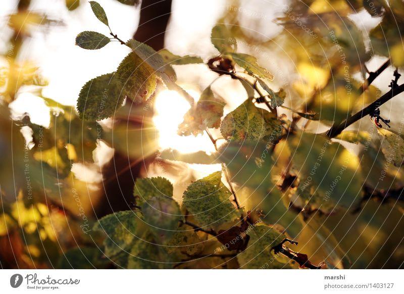 die letzten Sonnenstrahlen Natur Landschaft Pflanze Herbst Schönes Wetter Baum Blatt Stimmung herbstlich Farbfoto Außenaufnahme Detailaufnahme Tag Dämmerung