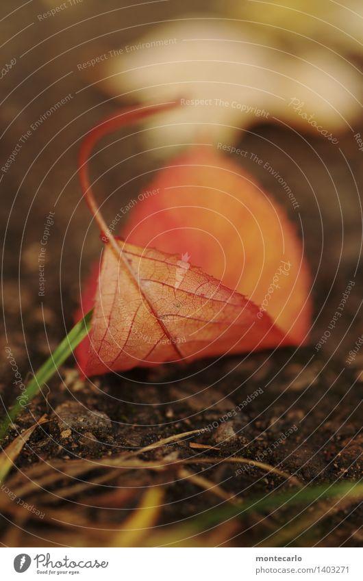 blatt Natur alt Pflanze rot Blatt Umwelt Herbst natürlich klein braun wild Erde trist authentisch einfach Vergänglichkeit