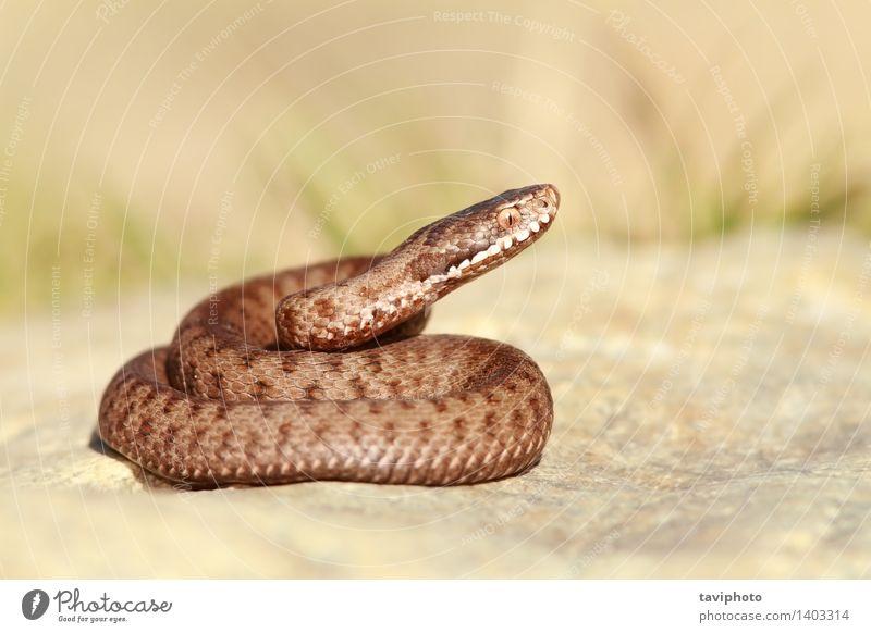 Natur schön Tier braun wild Angst Wildtier gefährlich Lebewesen Europäer gruselig gestreift Gift Reptil Schlange Schrecken