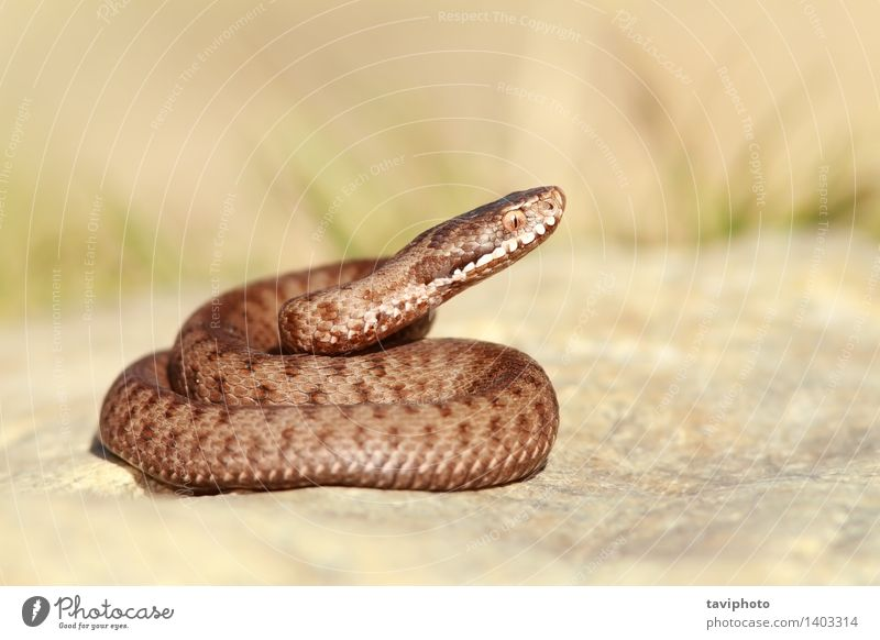 schöne europäische Gemeine Adder Natur Tier Wildtier Schlange gruselig wild braun Angst gefährlich berys Natter Vipera Gift giftig Reptil Europäer allgemein