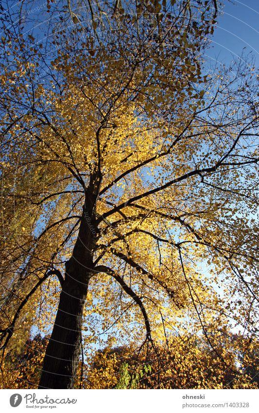 Golden Landschaft Wolkenloser Himmel Sonnenlicht Herbst Schönes Wetter Baum Blatt Baumkrone Baumstamm Ast Wald gelb gold Warmherzigkeit trösten dankbar geduldig