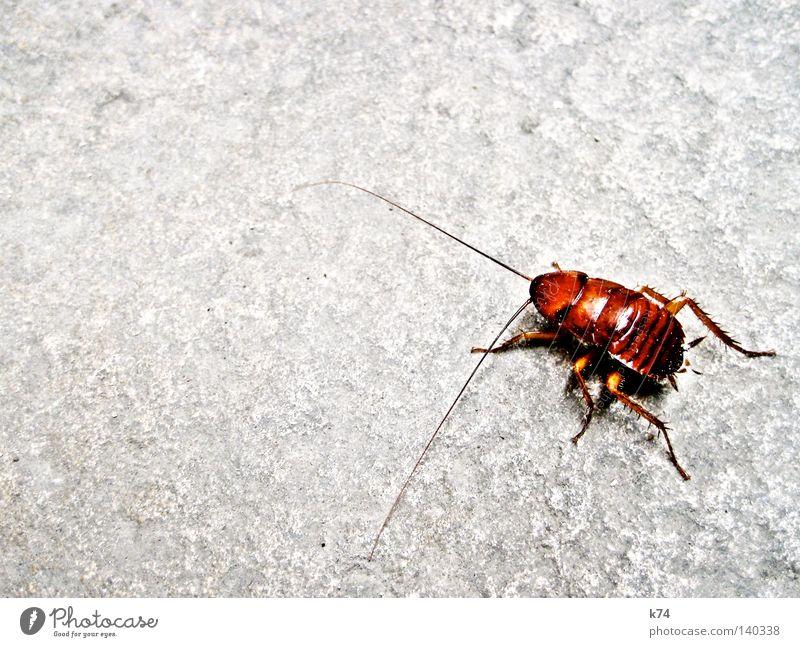 LA CUCARACHA Gemeine Küchenschabe Schaben Schädlinge Tier krabbeln Fühler Beine Ekel dreckig Müll Reinigen Sauberkeit Packung Dieb Schlamm Gastronomie Geschmeiß