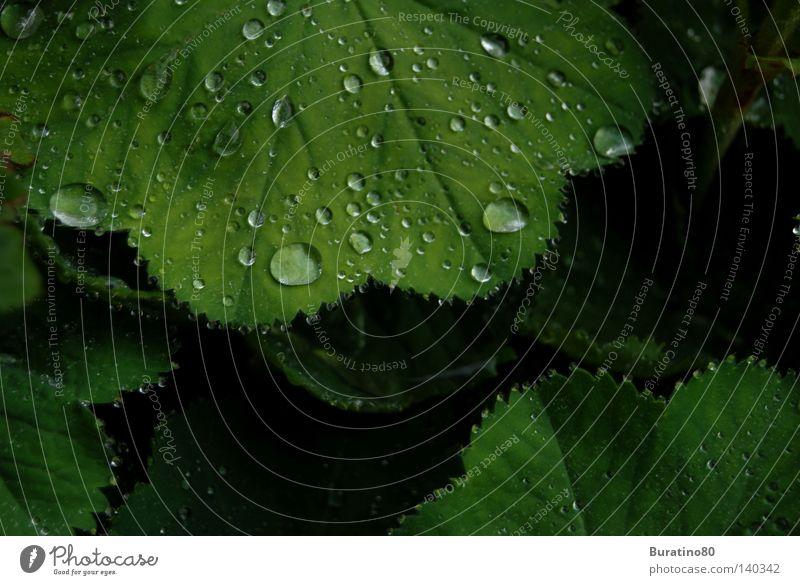 Perlen der Natur! grün Sommer Regen Blatt Wassertropfen Tropfen frisch kalt nass feucht Makroaufnahme Nahaufnahme