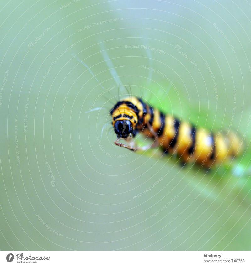 kurt beck Raupe Schmetterling Tier Fressen Ernährung Natur Futter Zweige u. Äste Geäst Makroaufnahme Gartenbau Pflanzenschädlinge Schädlinge Insekt Kopf Zoo