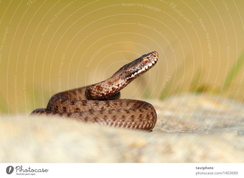 schön Tier natürlich grau braun wild Wildtier gefährlich Europäer gestreift Gift Reptil Schlange Schrecken Zoologie Natter