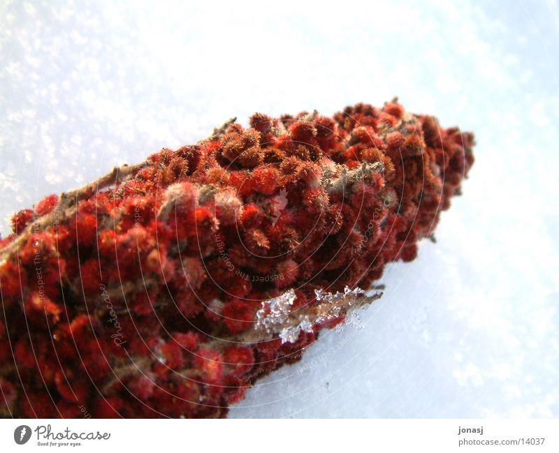 Frucht mit Fell? weiß rot Schnee Eis
