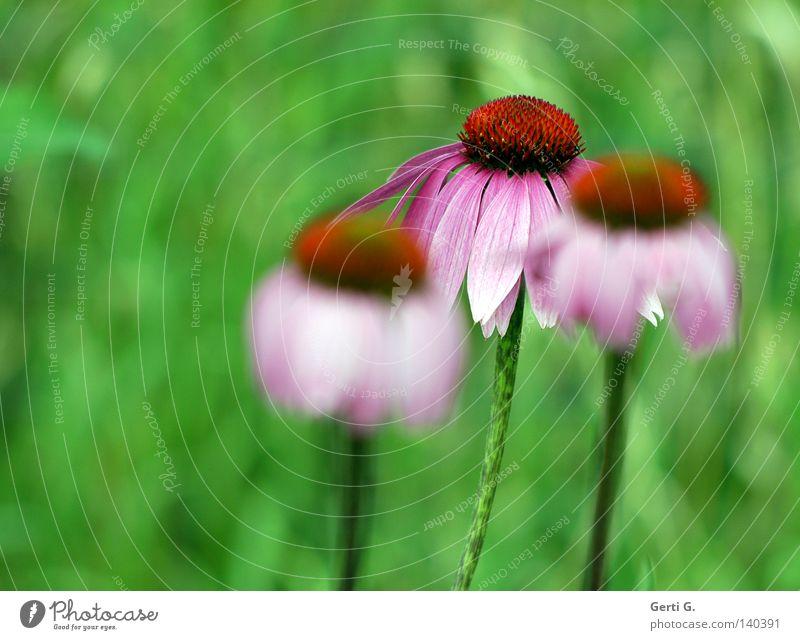 Dryer Unschärfe Tiefenschärfe Blume Blüte Natur grün Blütenblatt Roter Sonnenhut Korbblütengewächs purpur Pflanze Zierpflanze Heilpflanzen 3 Blühend violett