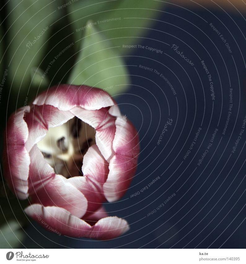 einsichtig Tulpe Blume Frühling Blühend Blüte Vogelperspektive Pflanze Natur Botanik Blumenstrauß blau grün violett weiß Einsamkeit einzeln vertikal Kraft